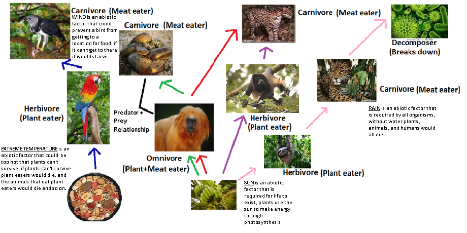 what is a predator prey relationship in the tropical rainforest